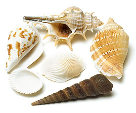 Decorative Natural Sea Shells Wedding Accessory