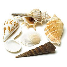 Decorative Natural Shells
